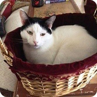 Domestic Shorthair Cat for adoption in Orange, California - Mr Blue Eyes