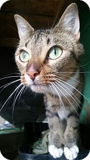 Hemingway/Polydactyl Cat for adoption in Ocala, Florida - OTIS