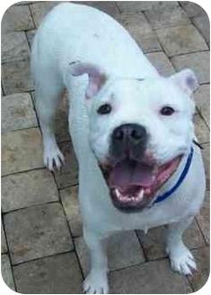 Boxer/English Bulldog Mix Dog for adoption in Thomasville, Georgia - Georgia