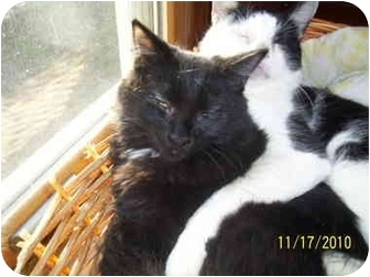 Domestic Longhair Kitten for adoption in Cleveland, Ohio - Chrissy