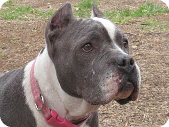 American Staffordshire Terrier/American Pit Bull Terrier Mix Dog for adoption in Santa Monica, California - Grace