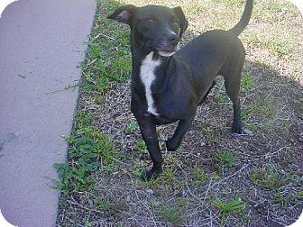 Dachshund/Labrador Retriever Mix Dog for adoption in Naples, Florida - Buddy