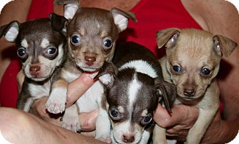 Chihuahua Mix Puppy for adoption in Scottsdale, Arizona - Spice Girls