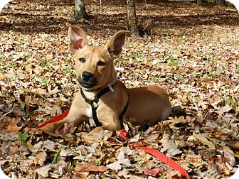 Carolina Dog Mix Puppy for adoption in Cranston, Rhode Island - Yazoo (located in Eastern TN)