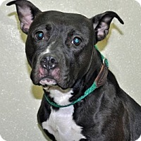 Adopt A Pet :: Pearl - Port Washington, NY