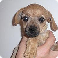 Adopt A Pet :: Gandolf - Coral Springs, FL