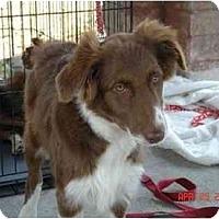 Adopt A Pet :: Shayna - Orlando, FL