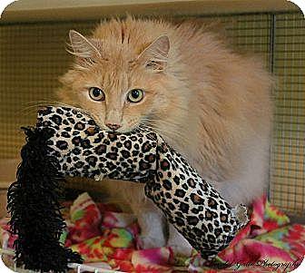 Domestic Longhair Cat for adoption in Saranac Lake, New York - Ben