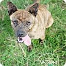 Adopt A Pet :: Dorrie
