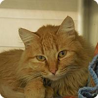 Adopt A Pet :: Apricot - Wickenburg, AZ