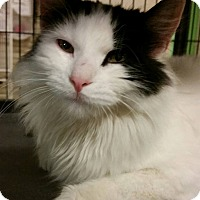 Domestic Longhair Cat for adoption in Struthers, Ohio - Tweety 1 YR OLD