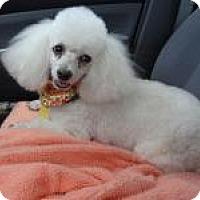 Adopt A Pet :: Shirley Sue Sabrina - Shawnee Mission, KS