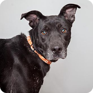 Labrador Retriever Mix Dog for adoption in Mission Hills, California - Woody