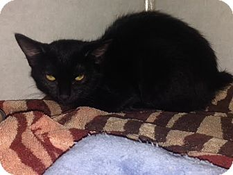 Domestic Mediumhair Kitten for adoption in Cashiers, North Carolina - Louise