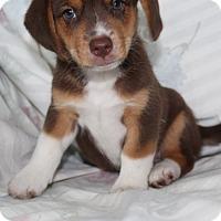 Australian Shepherd/Beagle Mix Puppy for adoption in Hagerstown, Maryland - Eddie (adopted)