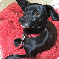 Chihuahua Mix Dog for adoption in Sonora, California - DINA