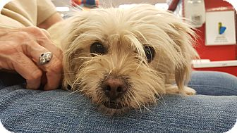 Terrier (Unknown Type, Small) Mix Dog for adoption in Monrovia, California - Sugar