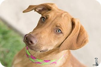 Manchester Terrier Mix Puppy for adoption in Santa Fe, Texas - Tanner