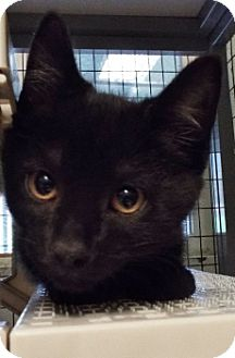 Domestic Shorthair Kitten for adoption in Grants Pass, Oregon - Outlaw