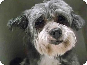 Lhasa Apso Dog for adoption in Ocala, Florida - *MYRTLE