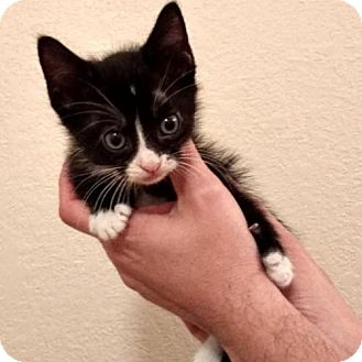 Domestic Shorthair Kitten for adoption in Austin, Texas - Matthieu