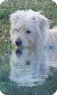 Norfolk Terrier/Westie, West Highland White Terrier Mix Puppy for adoption in Miami, Florida - Oscar
