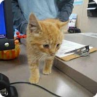 Adopt A Pet :: STARLET - Louisville, KY