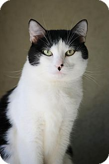 Domestic Shorthair Cat for adoption in Boise, Idaho - Sophie