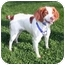 Photo 1 - Brittany Dog for adoption in Buffalo, New York - Brittany-Courtesy Listing