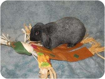 Lop-Eared Mix for adoption in Roseville, California - Sinbad