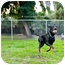 Photo 2 - Doberman Pinscher Mix Dog for adoption in Santee, California - Ranger