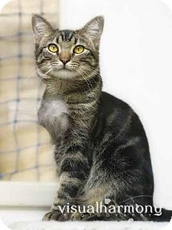 Domestic Shorthair Cat for adoption in Phoenix, Arizona - Luke