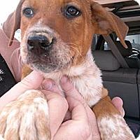 Adopt A Pet :: Beau - Colorado Springs, CO