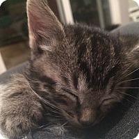 Adopt A Pet :: Basil - Southington, CT