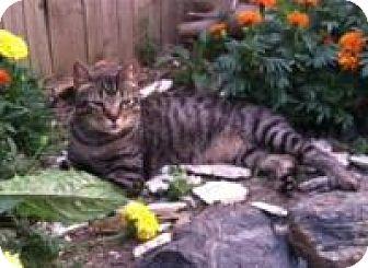 Domestic Shorthair Cat for adoption in Bear, Delaware - Bobby
