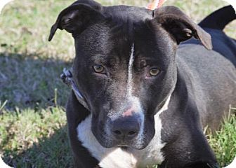 American Pit Bull Terrier Mix Dog for adoption in Choudrant, Louisiana - Victor