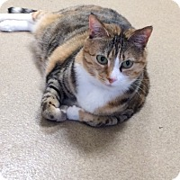 Adopt A Pet :: Tabby - Toms River, NJ
