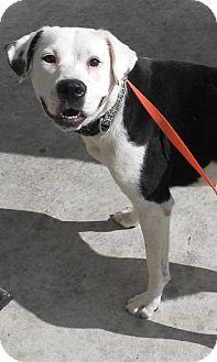 Boxer/Labrador Retriever Mix Dog for adoption in Leming, Texas - Sugar Bear
