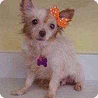 Adopt A Pet :: Cindy Lauper - 7 lbs - Dahlgren, VA