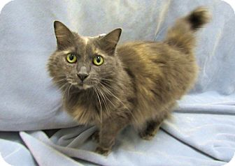 Domestic Longhair Cat for adoption in Lexington, North Carolina - MOONBEAM