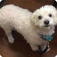 Adopt A Pet :: Belle - Oak Ridge, NJ