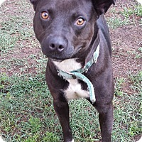 Adopt A Pet :: Sheba TRAINED - Snow Hill, NC