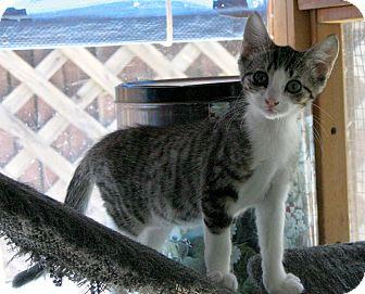 Domestic Shorthair Kitten for adoption in Sherman Oaks, California - Belinda