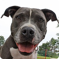 Adopt A Pet :: Shannon - Troy, MI
