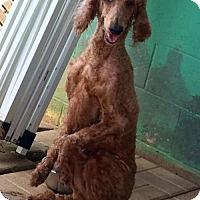 Poodle (Standard) Dog for adoption in Spartanburg, South Carolina - Delilah