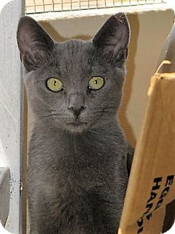 Russian Blue Cat for adoption in Woodland Hills, California - JAYDA