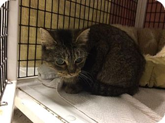 Domestic Shorthair Cat for adoption in Janesville, Wisconsin - Squeakers