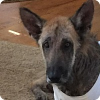 German Shepherd Dog Mix Dog for adoption in Alpharetta, Georgia - Traveller
