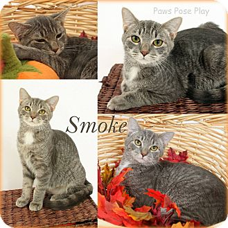 Domestic Shorthair Cat for adoption in Stafford, Virginia - Smoke