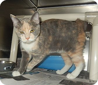 Domestic Shorthair Cat for adoption in Newport, North Carolina - Sophie & Lucille